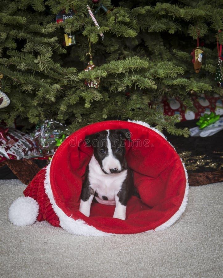 Bull Terrier puppy inside of a Santa hat stock photo