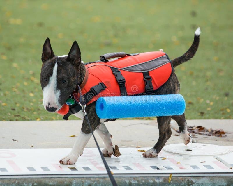 Bull terrier rajado em sua veste da nadada imagens de stock royalty free