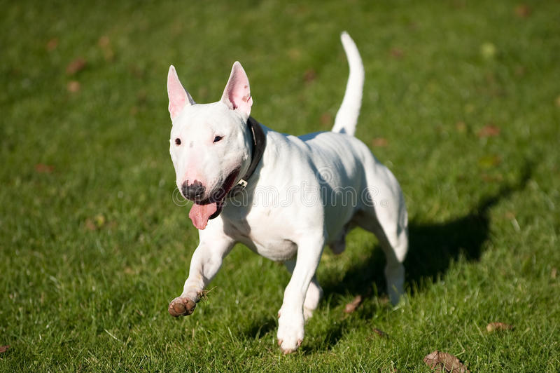 Bull terrier running stock photos