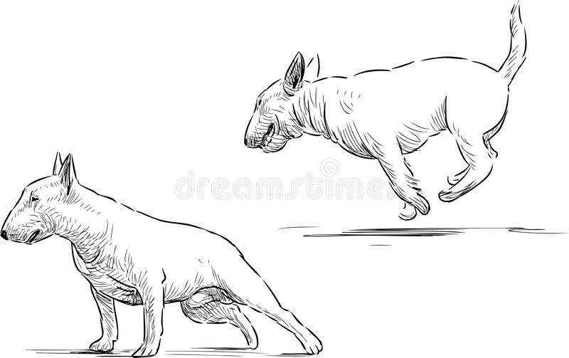 Bull terrier skissar royaltyfri illustrationer