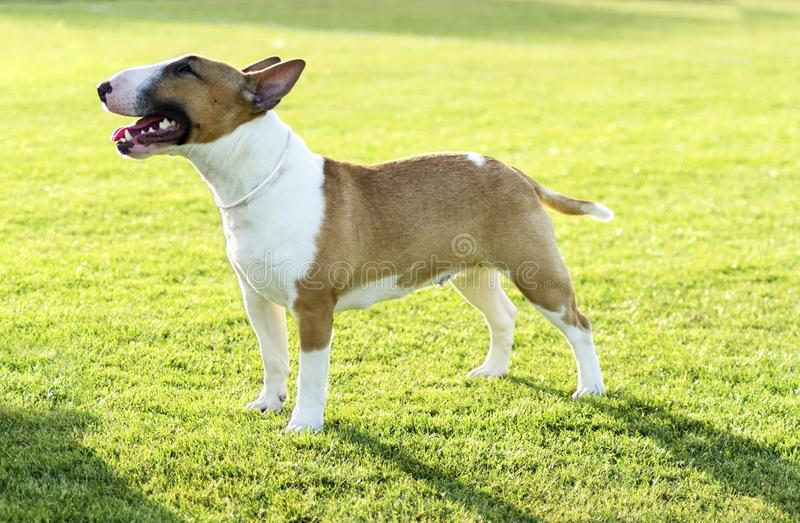 Download Bull Terrier stock image. Image of eyes, fearless, canine - 31517849