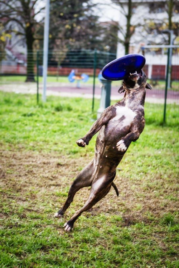 Bull terrier som hoppar i disketthundutbildning royaltyfria foton