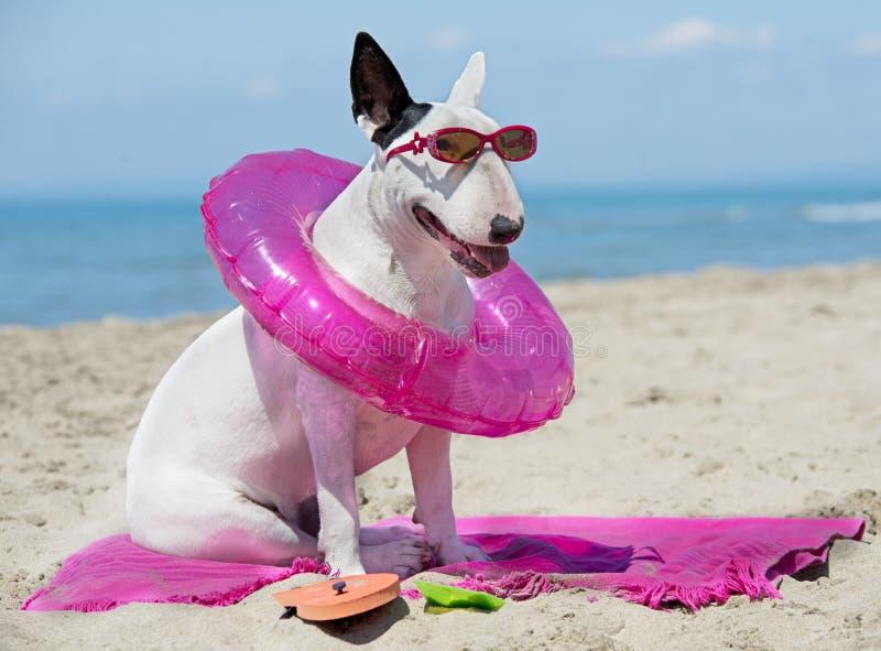Bull terrier sulla spiaggia fotografie stock libere da diritti