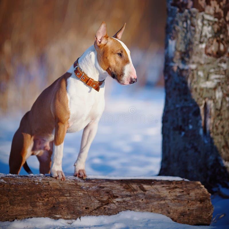 Bull-terrier sur la promenade en parc. images stock