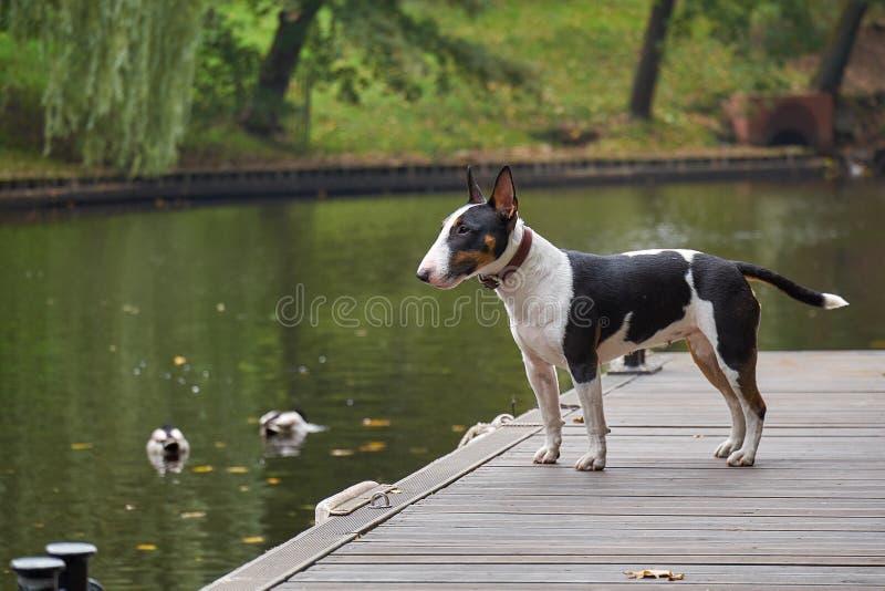 Bull terrier szczeniaka pies na drewnianym molu przy jeziorem, kopii przestrzenią, szczegółem z wybraną ostrością i przesmyk głęb zdjęcia stock