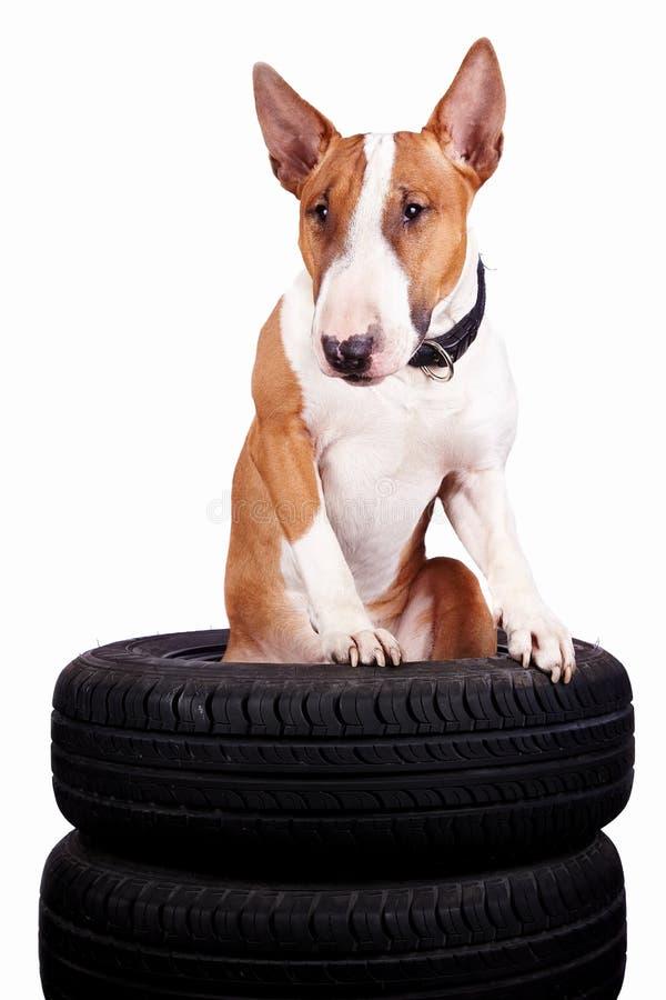 Download Bull-Terrier und Räder stockbild. Bild von welpe, schutz - 27725251