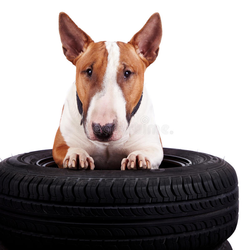 Bull terrier and wheels stock photography