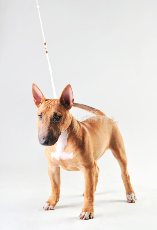 Bull terrier on a white background stock photography