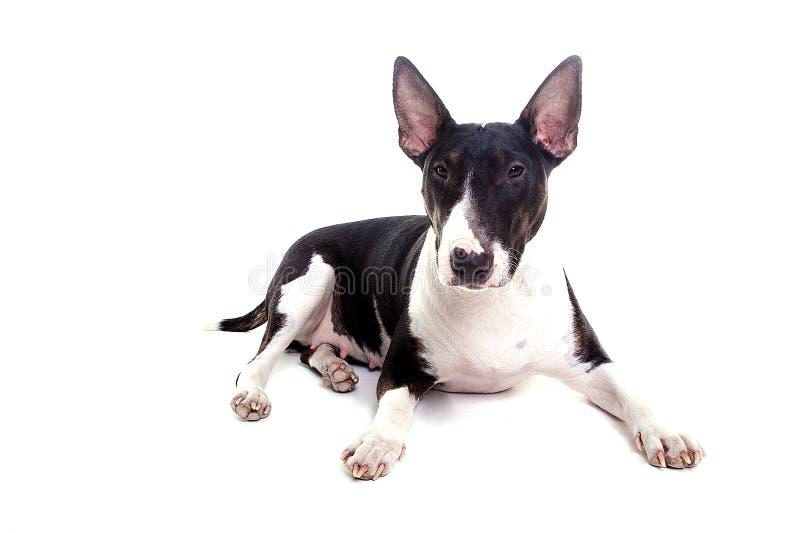 Bull terrier-wijfje royalty-vrije stock foto