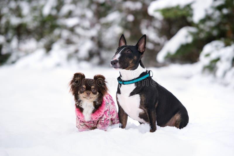 Bull terrier y perros de la chihuahua que presentan junto en invierno imagen de archivo