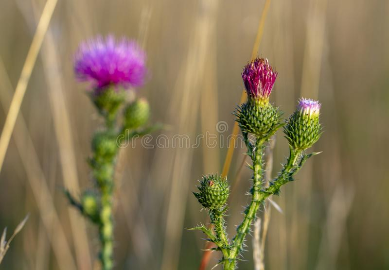 Bull thistle cirsium vulgare Violet flower on a green stem. Close up stock photography