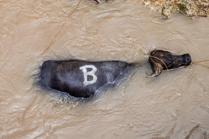 Bull is trapped in a water od river Napo in Peru. Crew of a cargo boat is trying to get it to the coas. T royalty free stock photography