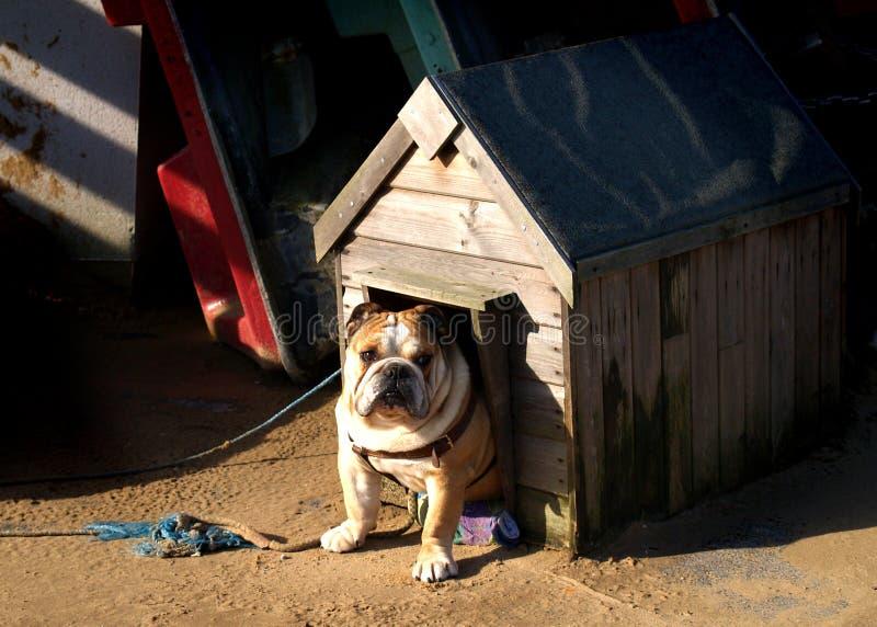 bulldog obrazy stock