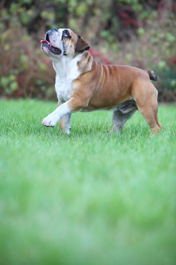 Bulldog. A young male bulldog,outdoors royalty free stock image