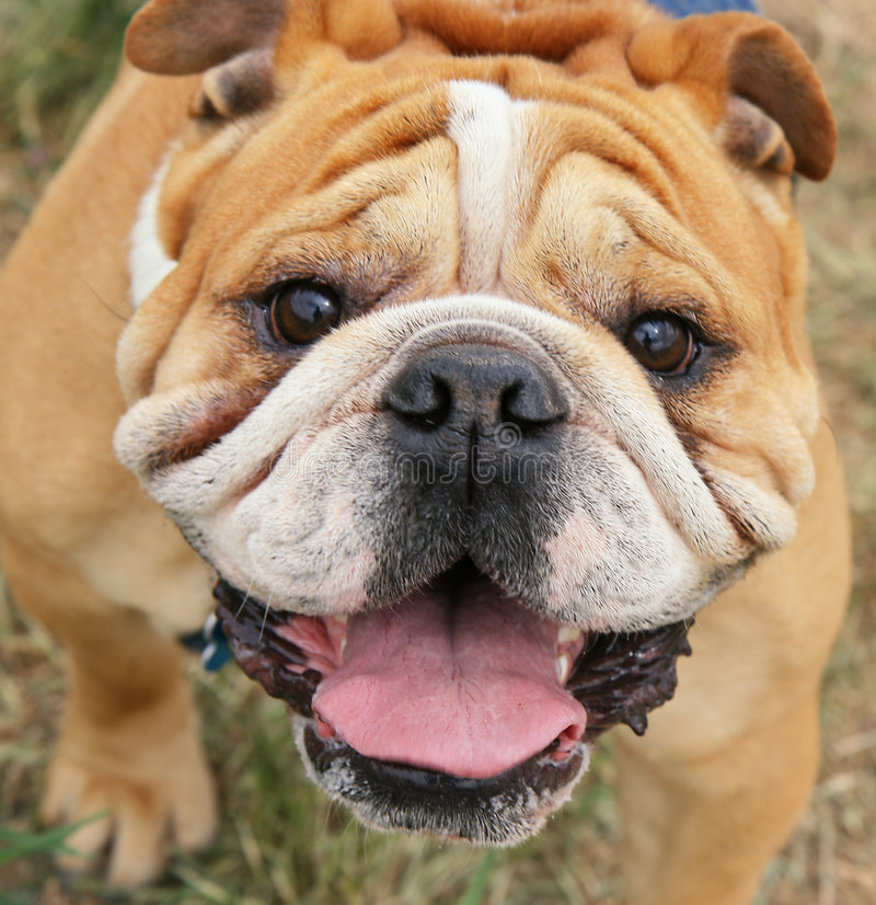 Download Bulldog stock image. Image of whiskers, skin, canine, white - 5276489