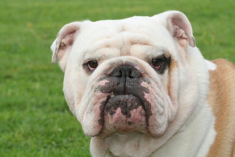 bulldog fotografia stock