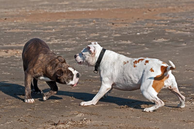 Bulldogs play on beach. American Bulldog female face Olde English Bulldog male for play fighting for a while on the beach stock photography