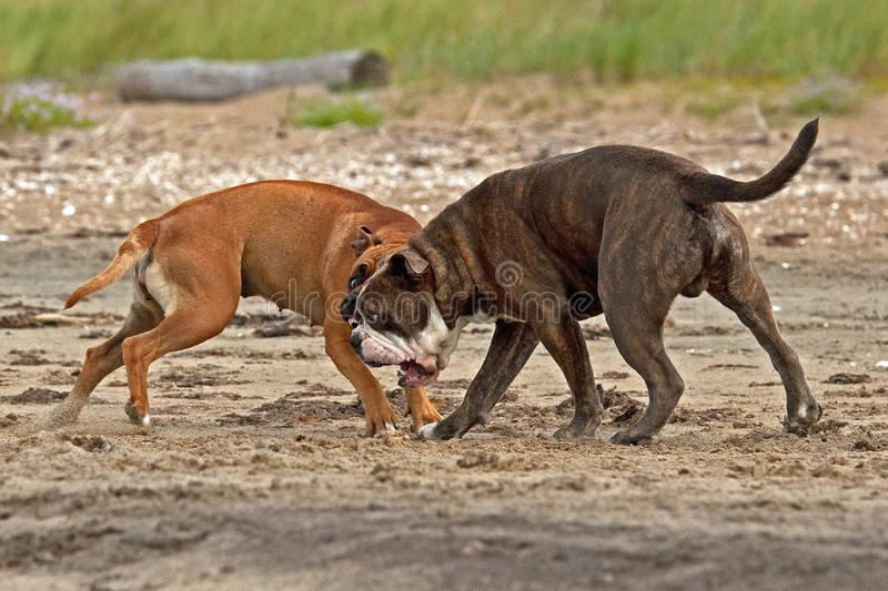 Bulldog and American staffordshire terrier play on beach stock image