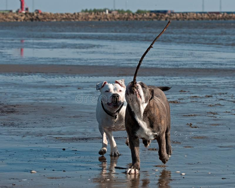 Bulldogs play on beach. American Bulldog female face Olde English Bulldog male  for play fighting for a while on the beach royalty free stock photography