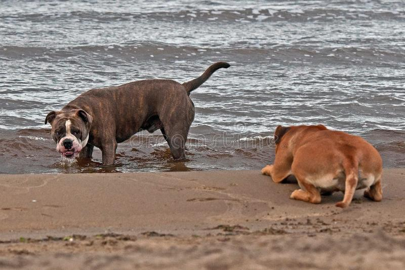 Bulldog and American staffordshire terrier play on beach stock photos