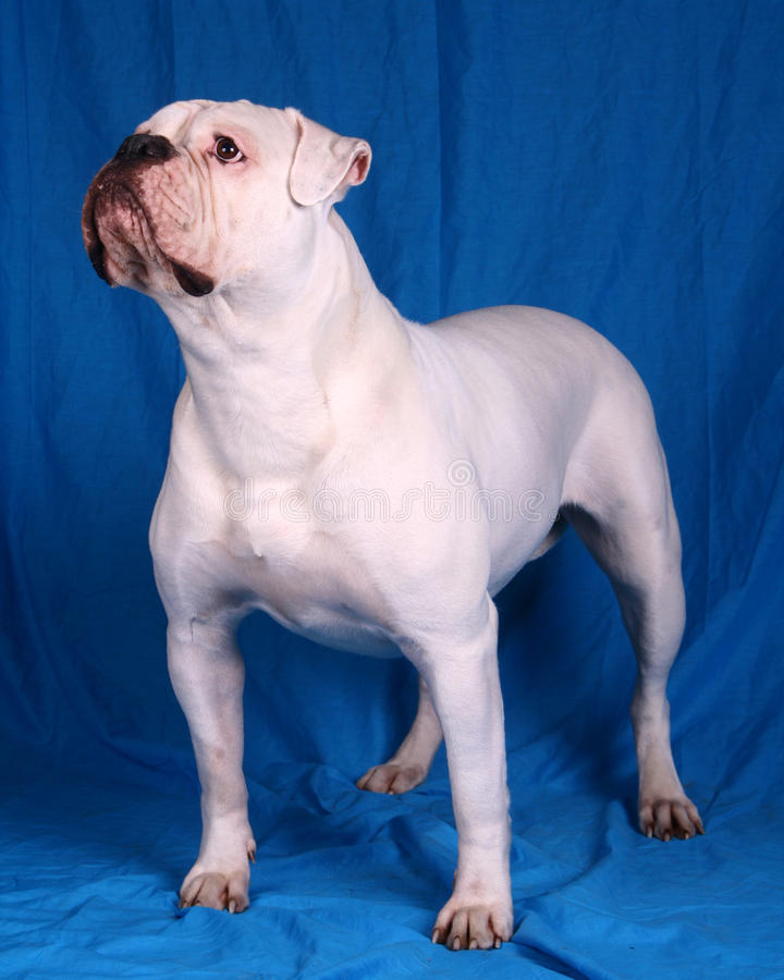 Bulldog americano fotografia stock