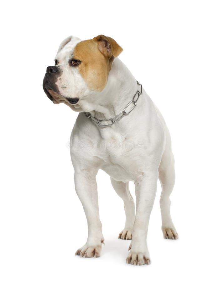 Bulldog americano (4 anni) immagini stock