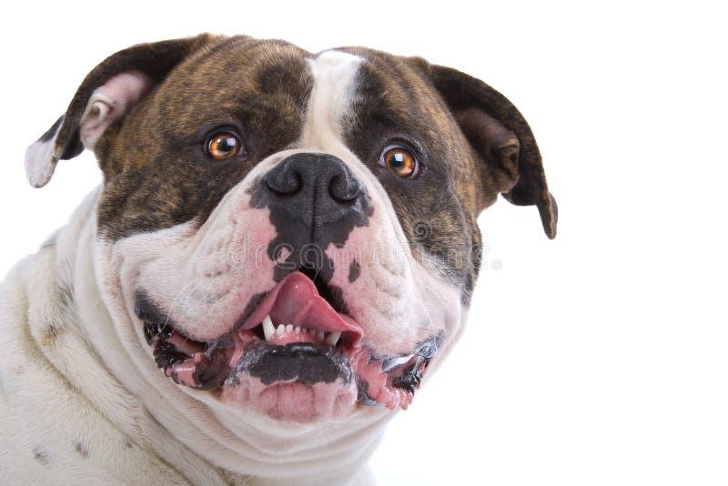 Bulldog americano fotografie stock libere da diritti