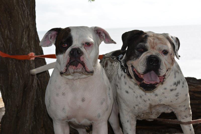 Bulldog americano Kepler e Bubba immagini stock libere da diritti