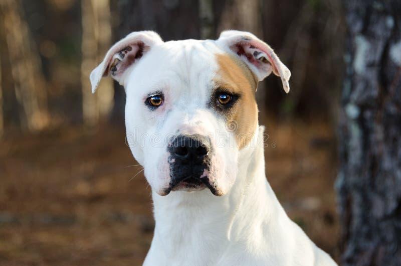 bulldog amerykański zdjęcie stock