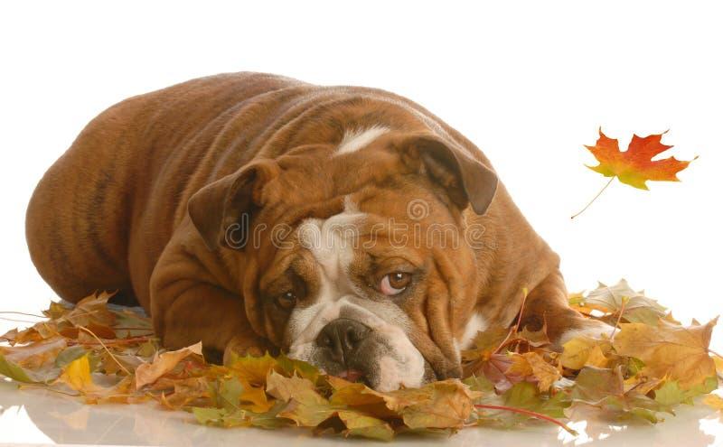 Bulldog in autumn leaves stock photo