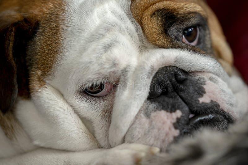 Bulldog britannico fotografie stock