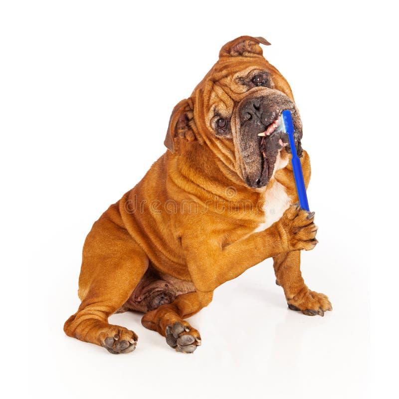 Bulldog Brushing Teeth royalty free stock photo