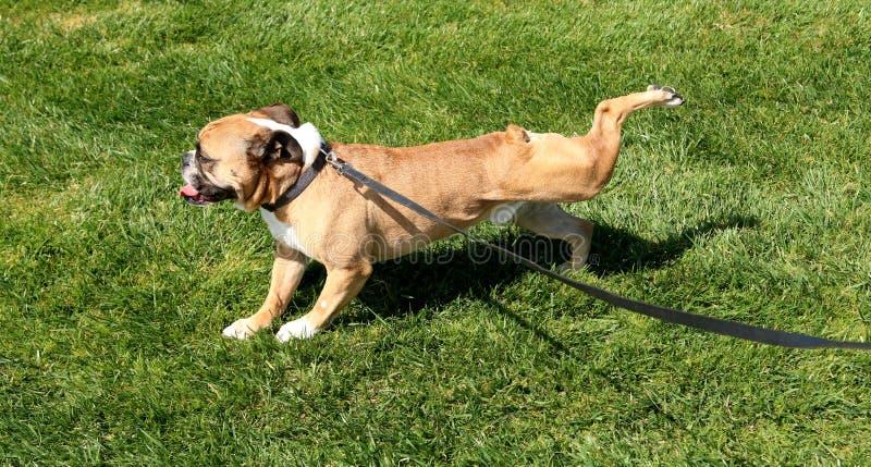 Bulldog che butta fuori nella sua posizione di yoga immagini stock