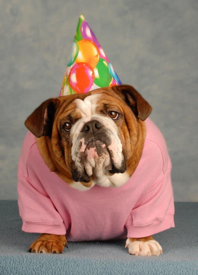 Bulldog di compleanno fotografie stock libere da diritti