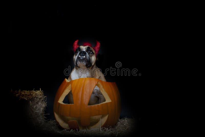 Bulldog dressed as a devil inside a pumpkin. An English Bulldog dressed as a devil posing inside of a pumpkin for a Halloween portrait royalty free stock image