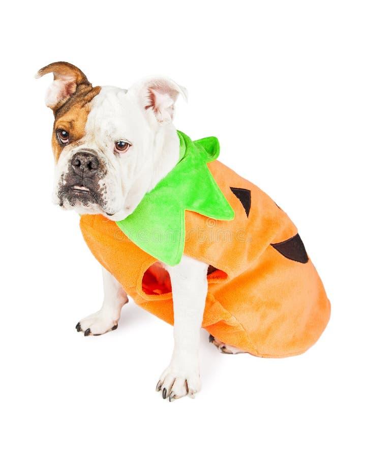 Bulldog Dressed As Halloween Pumpkin royalty free stock photography