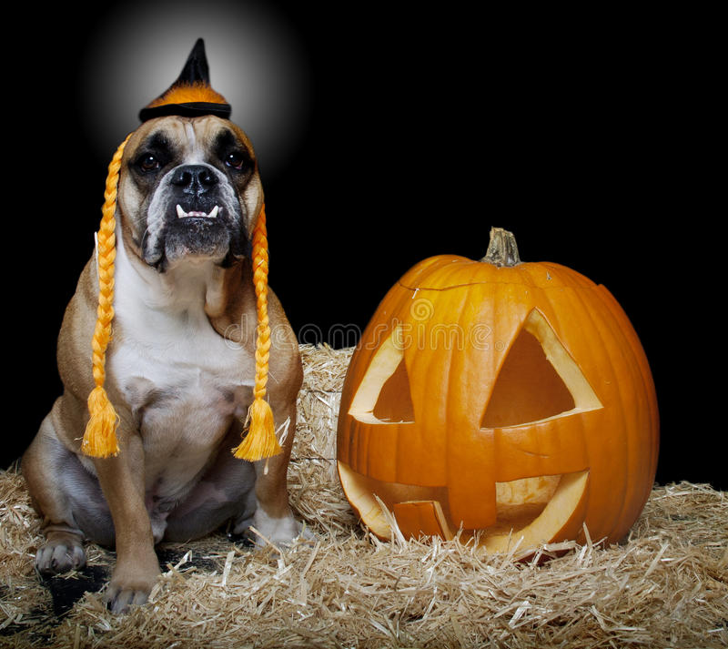 Bulldog dressed as a witch portrait. An English Bulldog dressed as a witch and posing with a pumpkin for a Halloween portrait royalty free stock photo