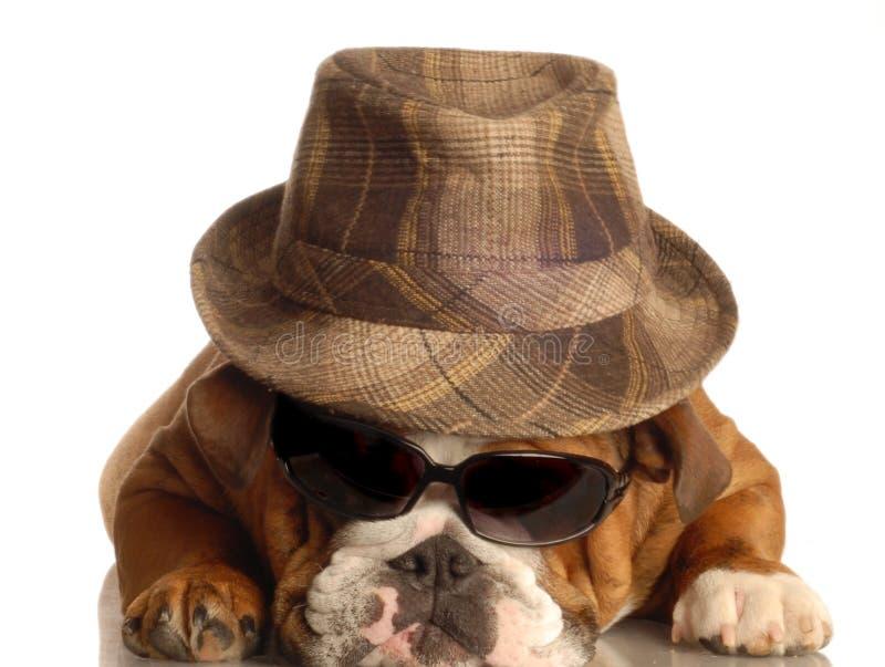 Bulldog dressed like gangster royalty free stock photo