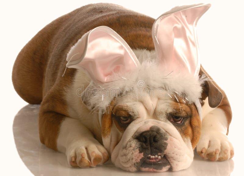 Bulldog dressed up as bunny royalty free stock photo