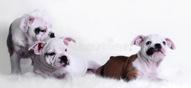 bulldog dziecka fotografia royalty free