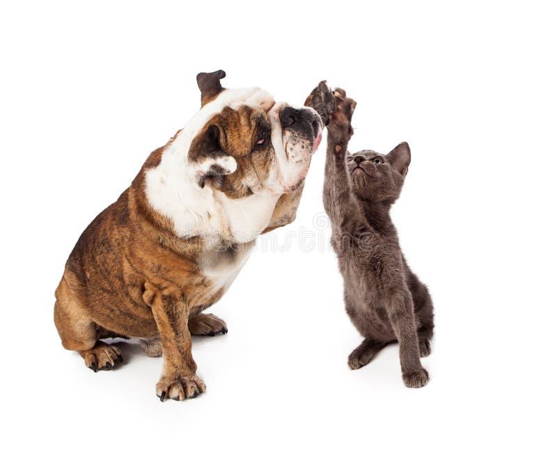 Bulldog e Kitten High Five fotografia stock