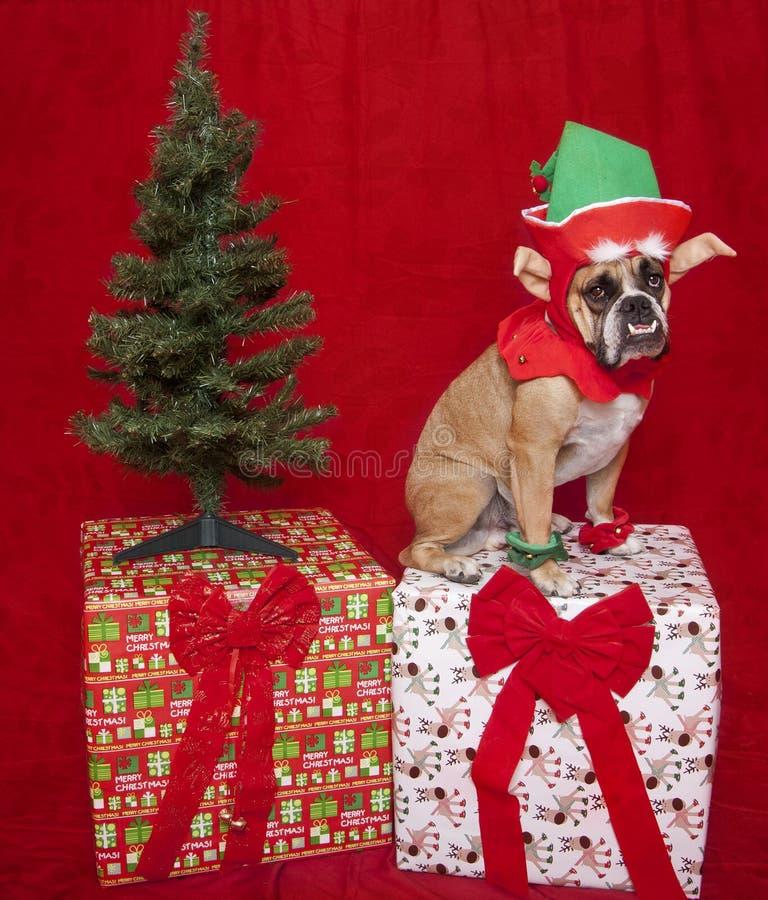 Bulldog Elf Holiday Portrait. A bulldog holiday portrait dressed as an elf royalty free stock photo