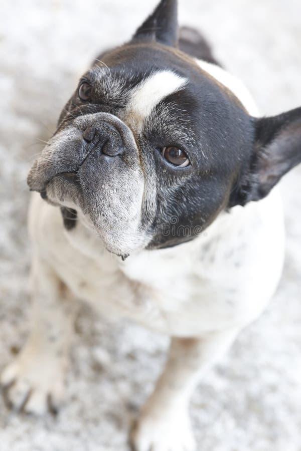Bulldog francese in bianco e nero fotografia stock