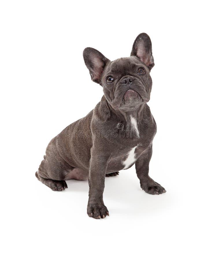 Prezzi bulldog francese bulldog francese con seduta del for Bouledogue inglese