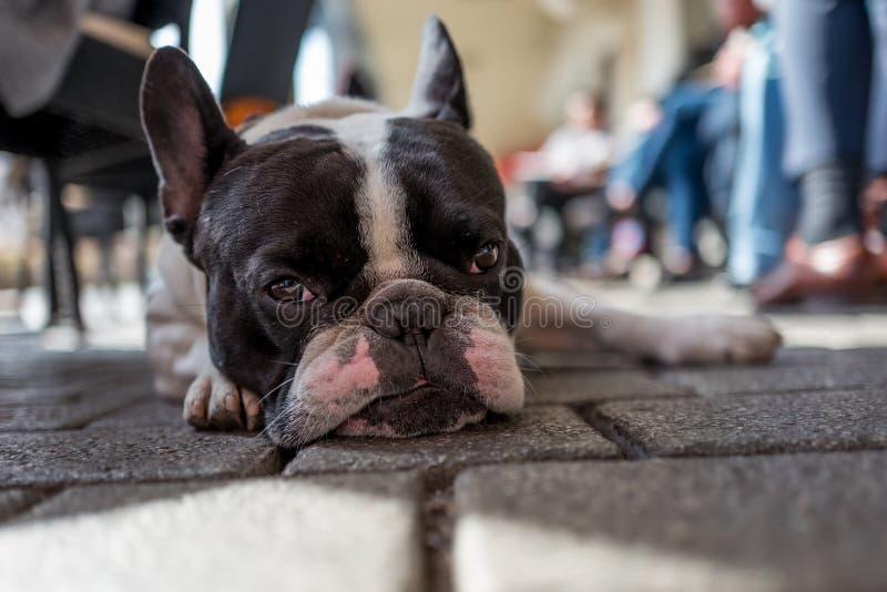 Bulldog francese in caffè immagine stock