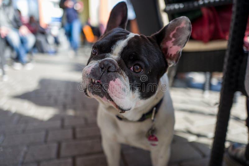 Bulldog francese in caffè fotografia stock