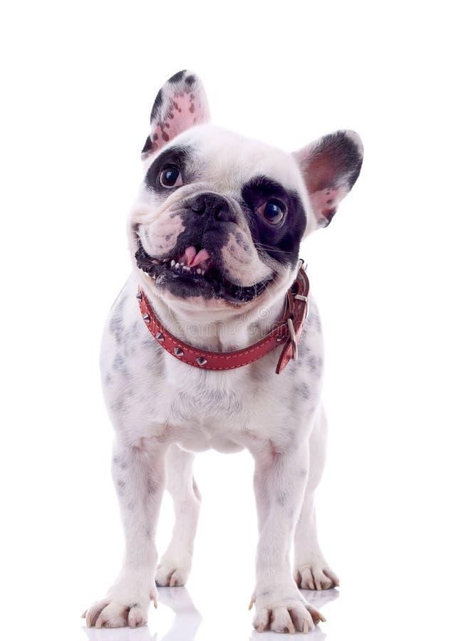 Bulldog francese che sembra curioso immagini stock libere da diritti