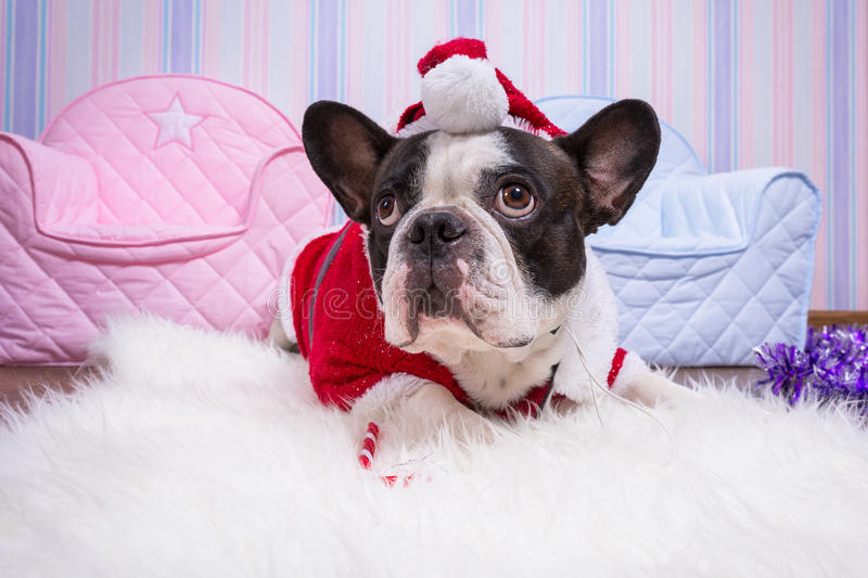 Bulldog francese in costume dell'assistente di Santa fotografie stock