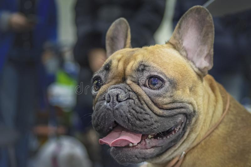 Bulldog francese del cane del ritratto Chiuda sulla foto Bulldog francese di Brown immagine stock libera da diritti