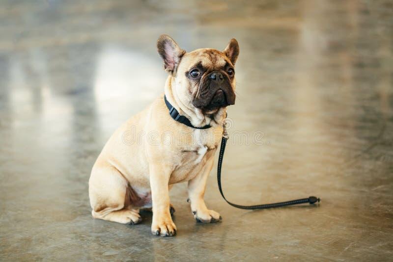 Bulldog francese del cane triste perso che si siede sul pavimento immagini stock libere da diritti